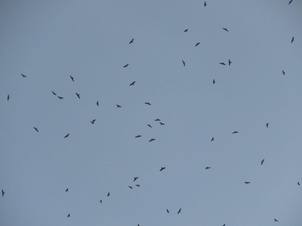 Milanos negros en vuelo sobre el Pirineo aragonés.