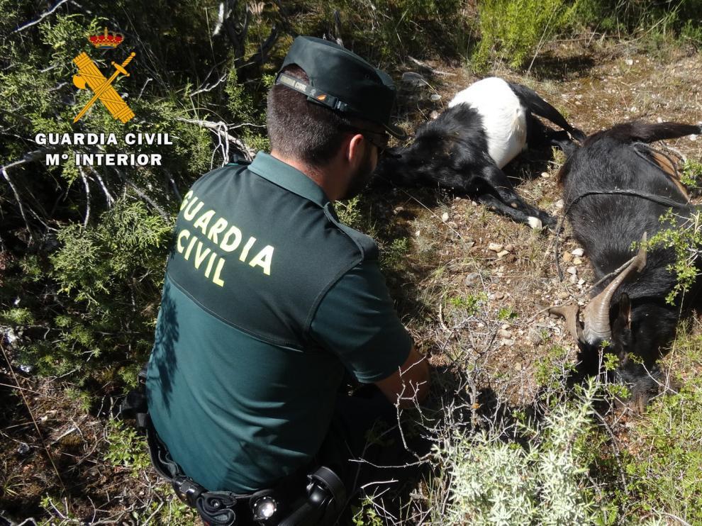 Los agentes encontraron tres cabras muertas con disparos de arma de fuego cerca de Angüés.