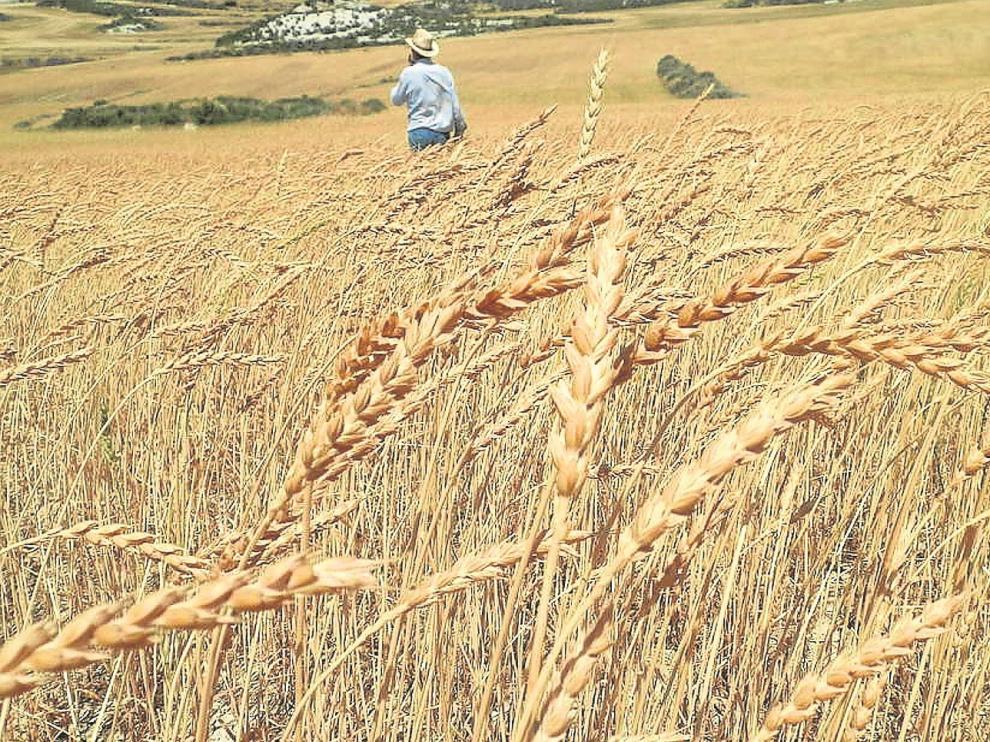 Campo de cultivo de trigo Aragón 03.