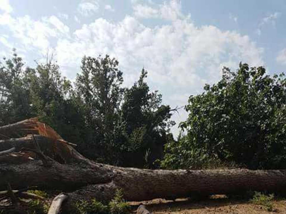 Una tormenta derriba un pino centenario en Villafranca de Ebro