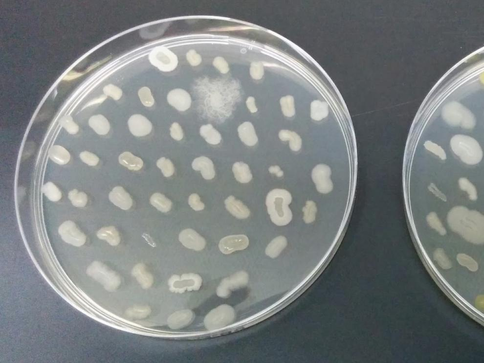 Microorganismos presentes en el suelo. Existe una gran diversidad de microbios presentes en cualquier ambiente .