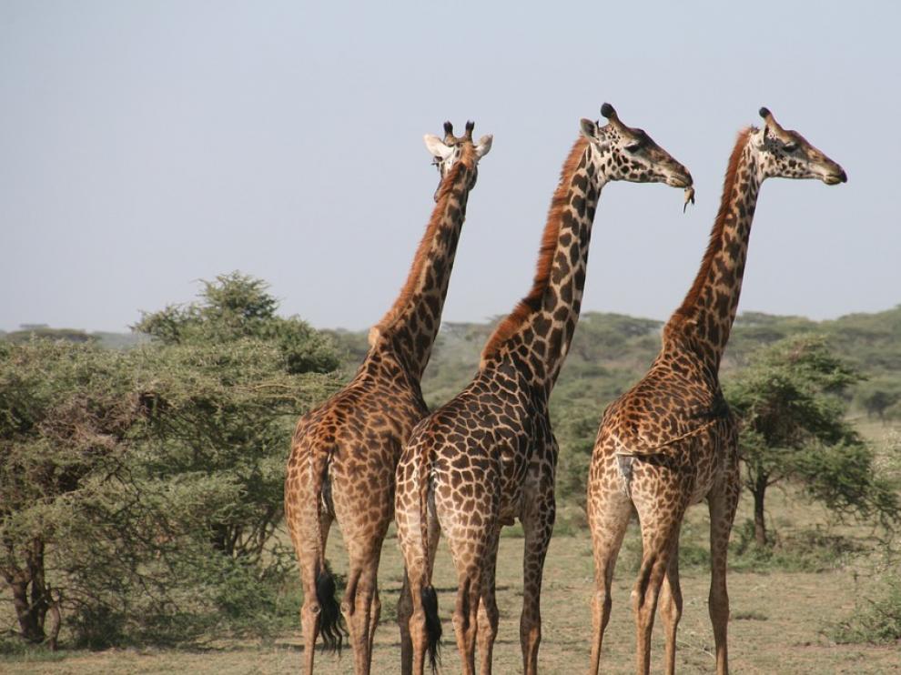 La jirafa provocó lesiones graves a la mujer y su hijo.