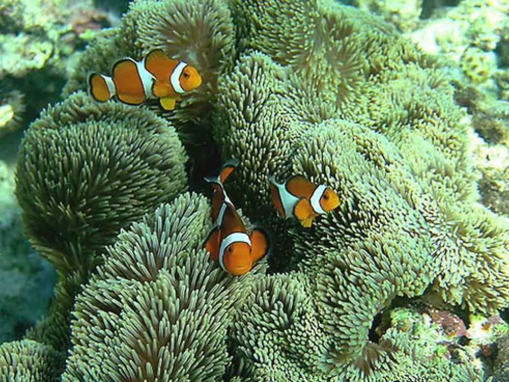 Stichodactyla gigantea en el arrecife de coral cerca de la isla japonesa Sesoko