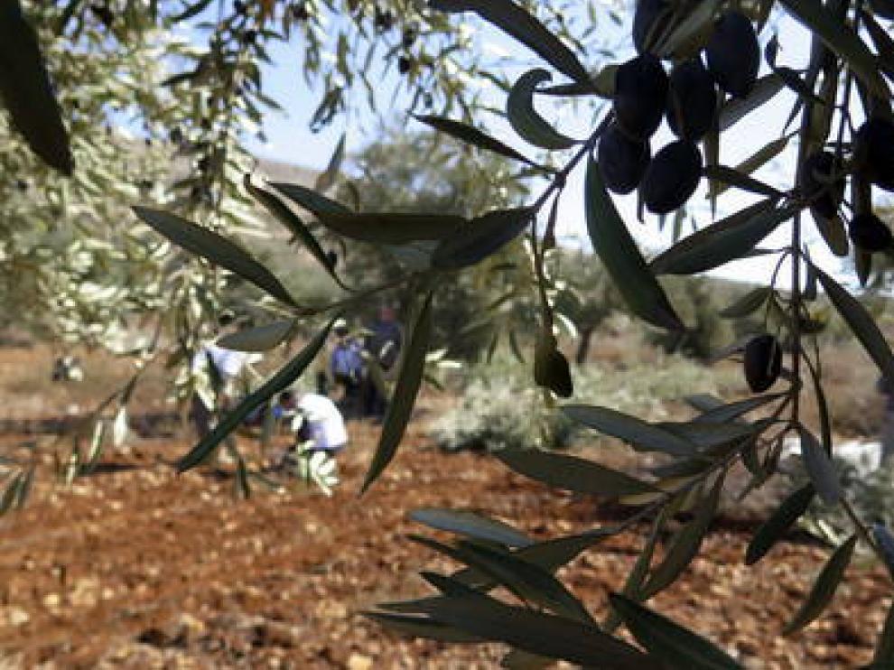 El cultivo del olivar está presente en las tres provincias aragonesas.