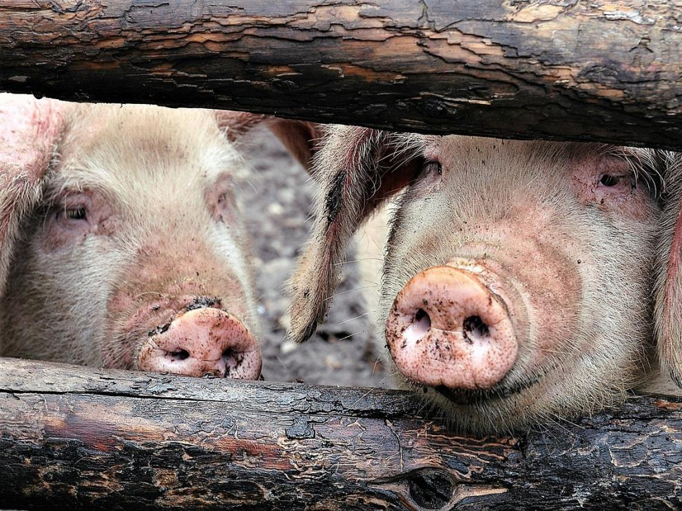 El valor de la producción final de porcino ronda los 7.000 millones de euros al año en España.