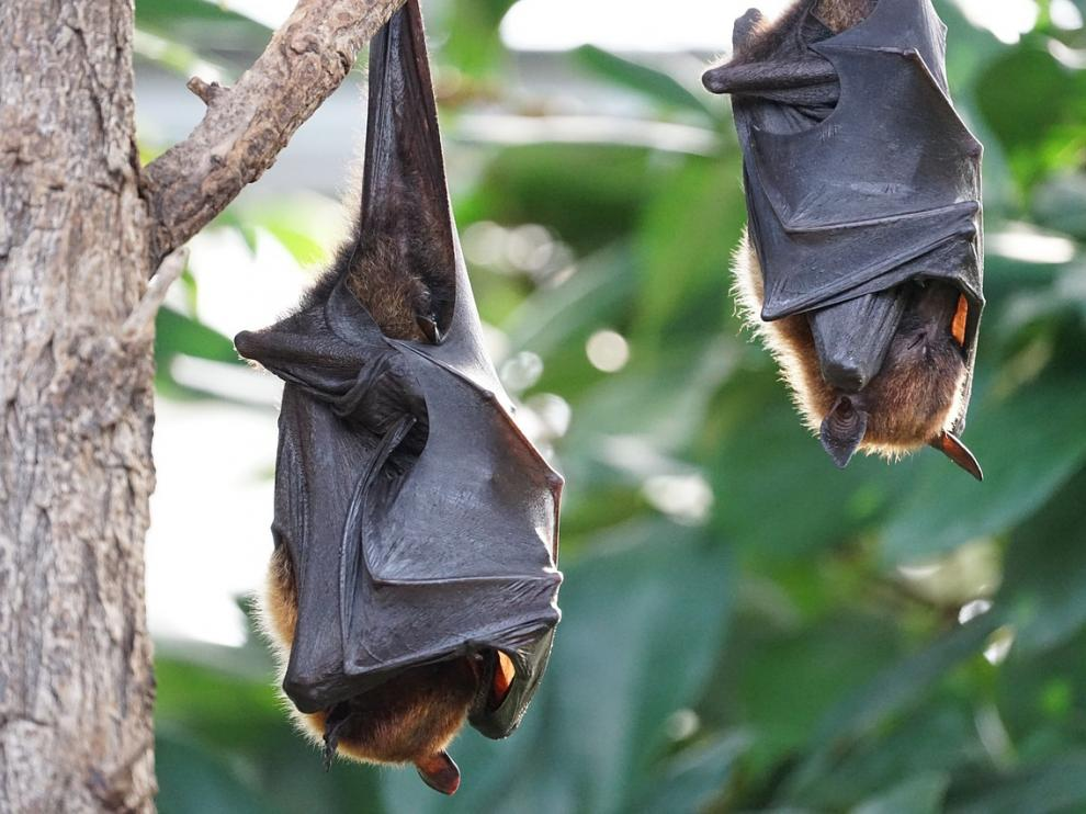 Imagen de archivo de dos murciélagos.