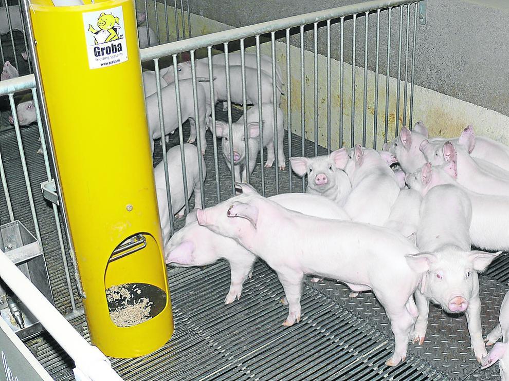 Grupo de lechones de una de las granjas que forman parte de la asociación Porc-Libre.