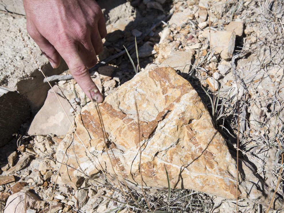 Fósil marino en el yacimiento de megaplanolites