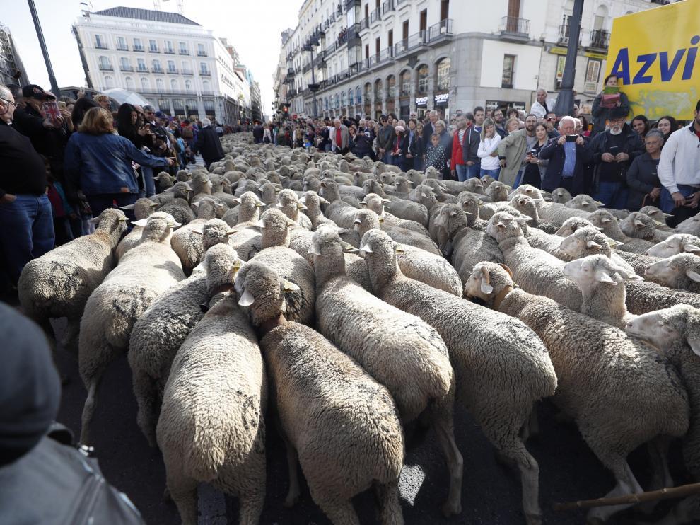 Ganado trashumante cruzando el centro de Madrid.