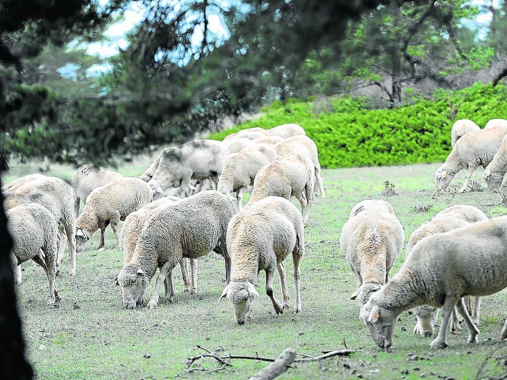 Un grupo de ovejas se alimenta en una zona de monte adaptada para el pastoreo extensivo.
