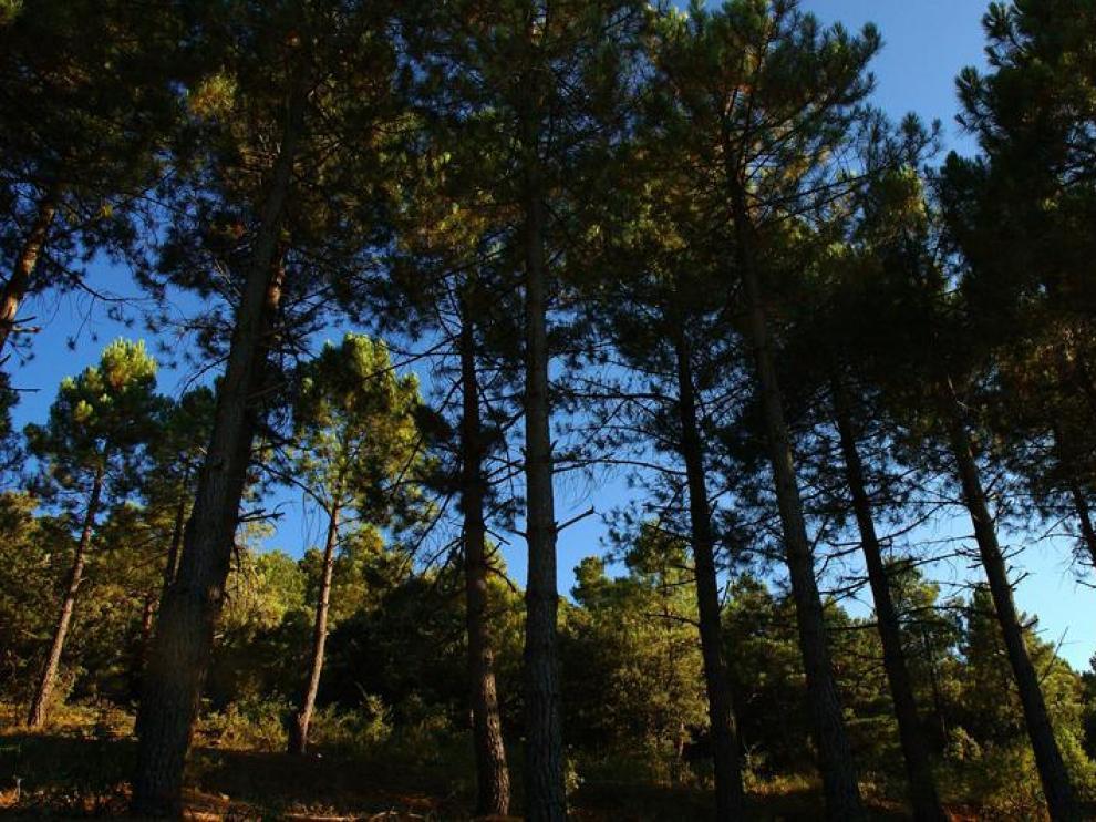 El pinsapar de Orcajo, un bosque de una especie inusual en Aragón, en la comarca de Campo de Daroca.
