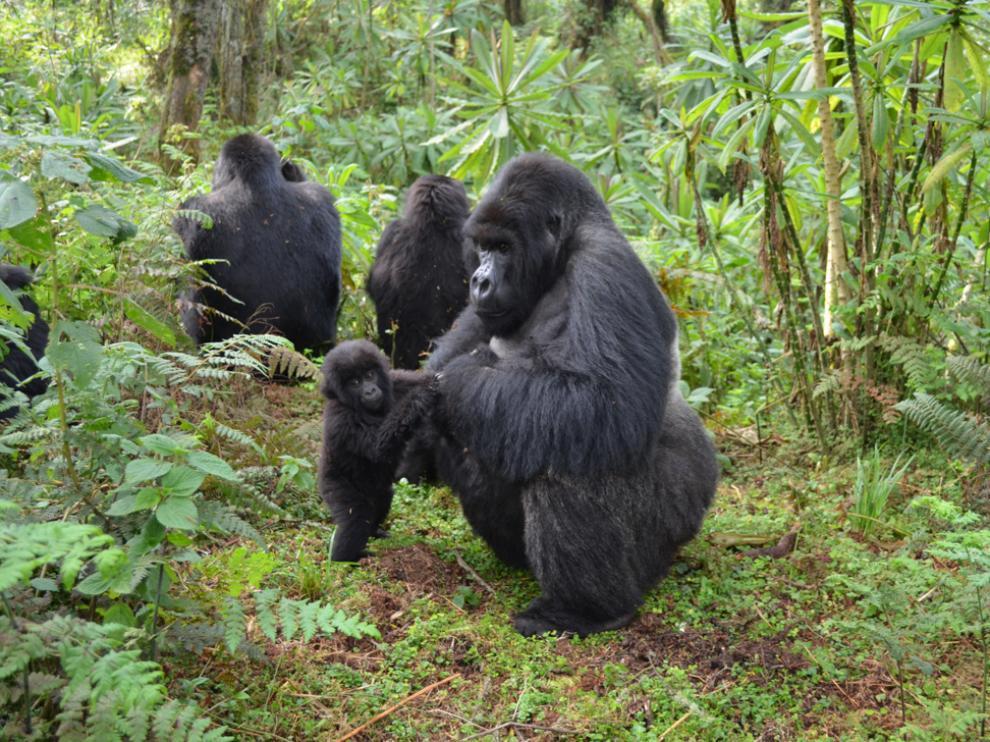 Un estudio reciente muestra gorilas macho que juegan y cuidan a las crías, incluso a las de otros machos