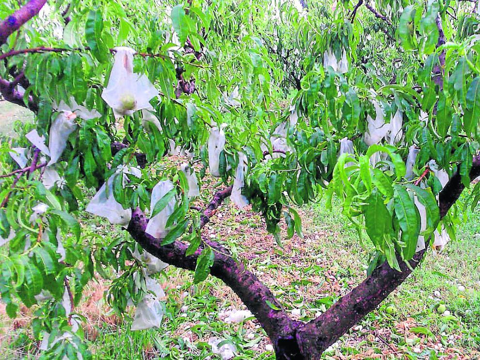 Los frutales han sufrido cuantiosas pérdidas a lo largo del año.