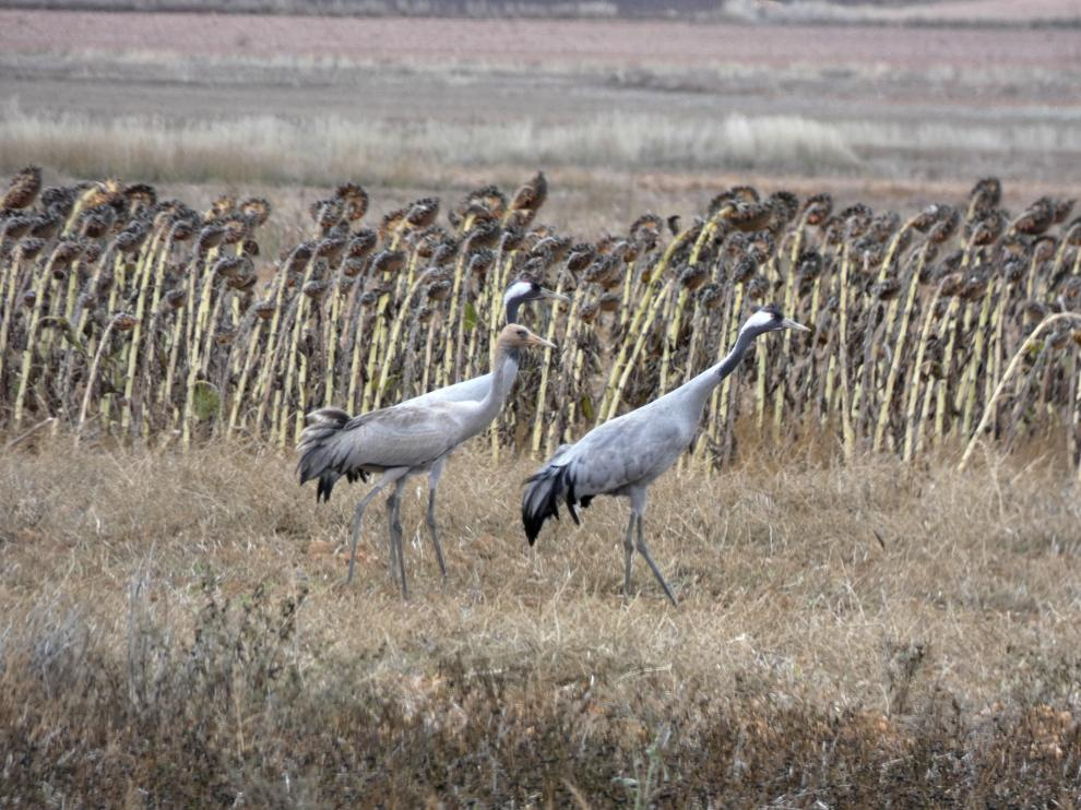 Un grupo de grullas en uno de los campos del entorno de la Laguna de Gallocanta.