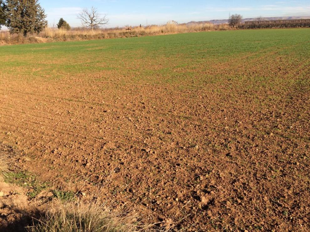 Cultivo afectado por las plagas de conejos en Aragón.