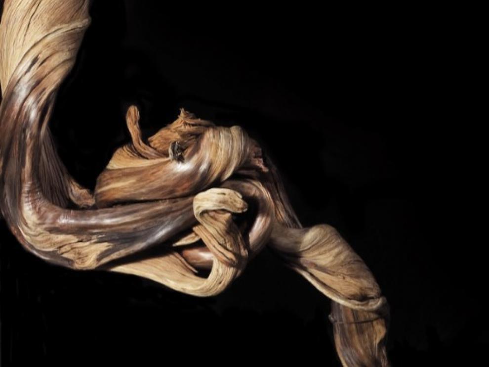 El tronco de esta sabina negra solo tiene 13 cm de diámetro pero acumula 655 anillos de crecimiento. Datado con carbono 14, da una fecha de 874 (+/– 28) años