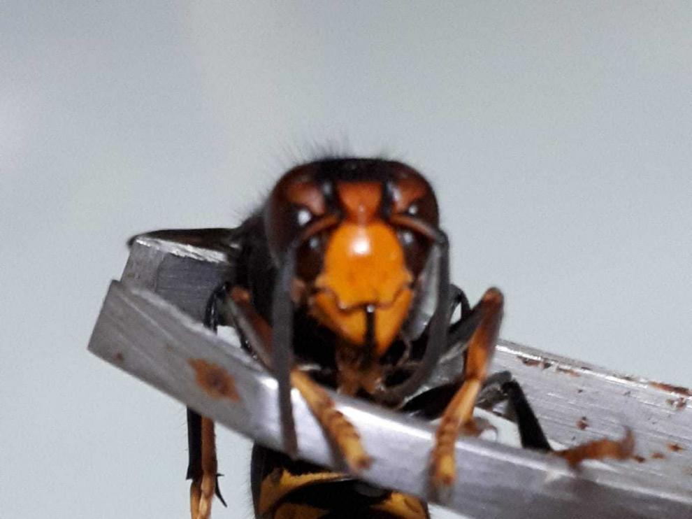 Imagen de una de las avispas localizadas en Ambel.