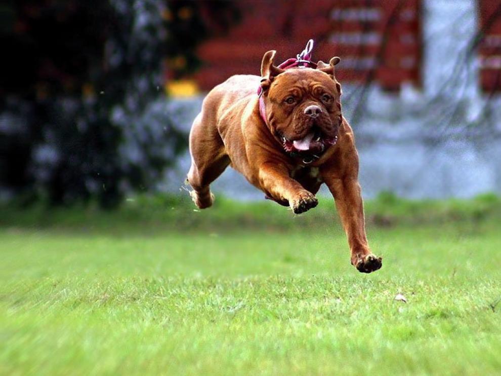 Un Dogo de Burdeos, corriendo.