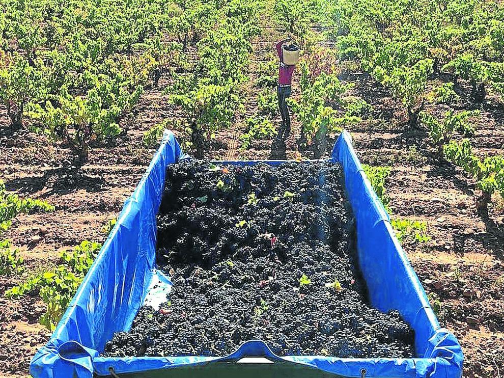 Un momento de la vendimia de la garnacha con la que se elaboran los vinos de Viñedos y Bodegas Pablo.