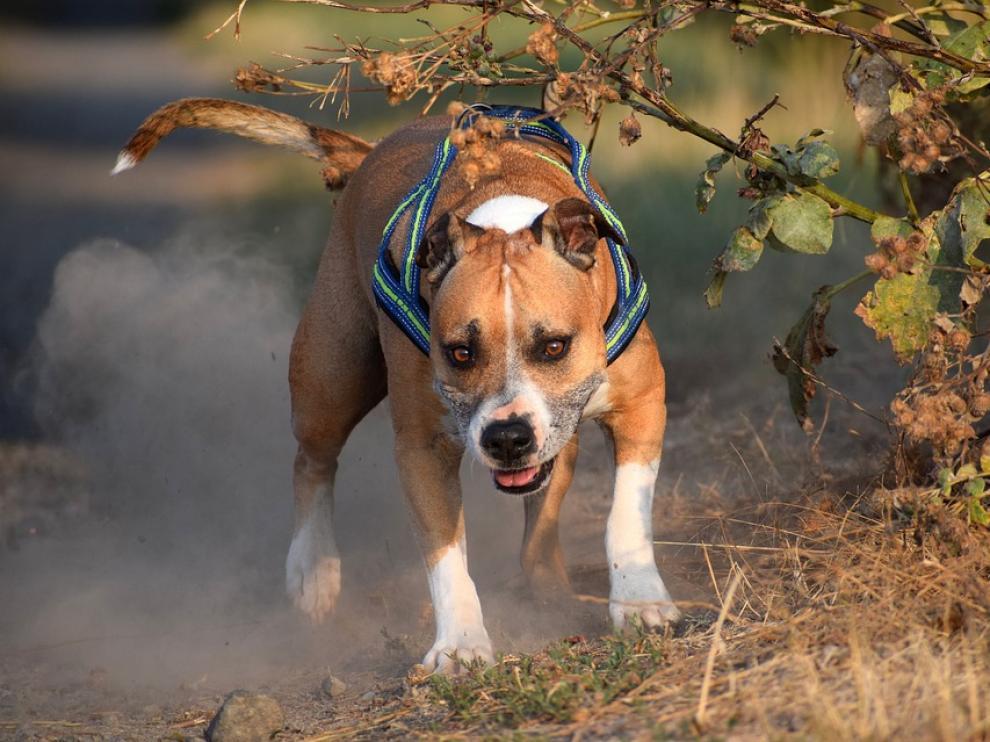 Los perros eran cruce de American Staffodshire Terrier, animal que sí está considerado como peligroso.