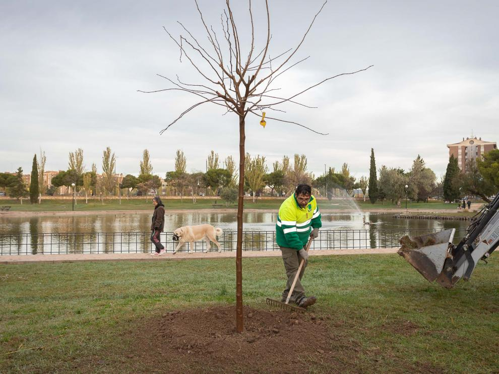 Trabajos de replantación de árboles en el parque Tío Jorge