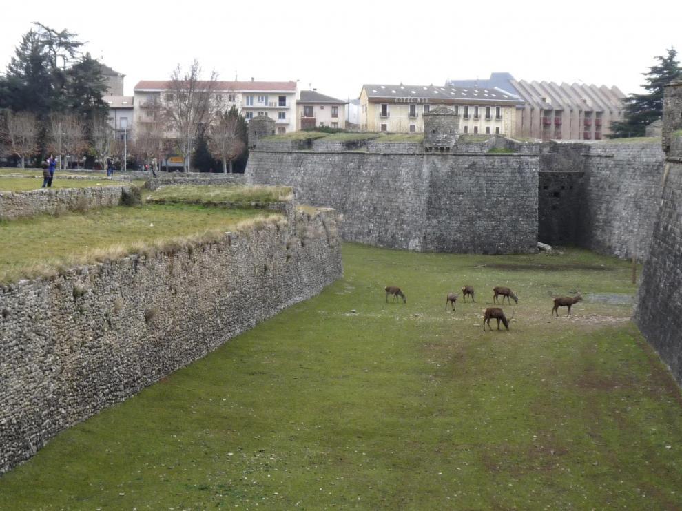 Los ciervos de la Ciudadela son uno de los atractivos de la ciudad de Jaca.