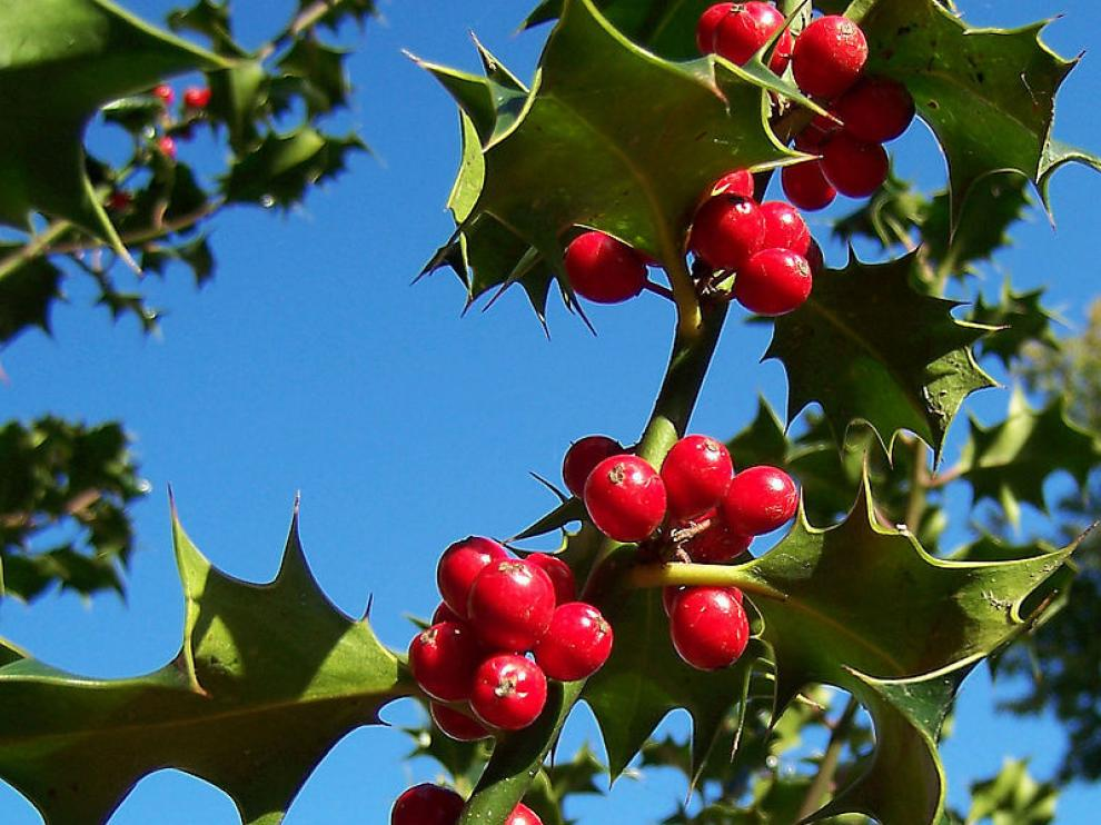 Acebo, una de las plantas más navideñas por tradición