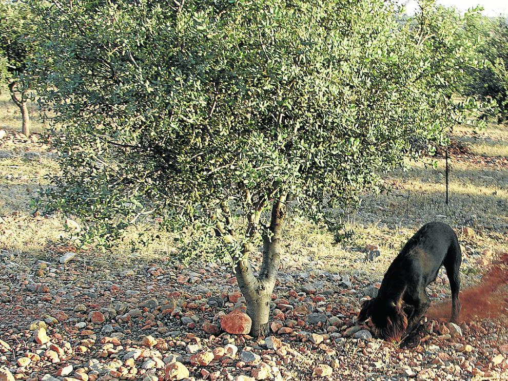 Un perro trufero en plena labor de localización de un ejemplar de Tuber melanosporum.