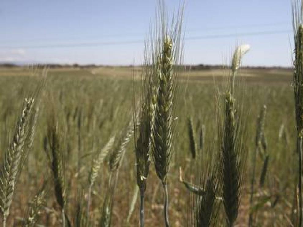 Descubren un antioxidante natural que se encuentra en el salvado de grano de cereales o trigo.