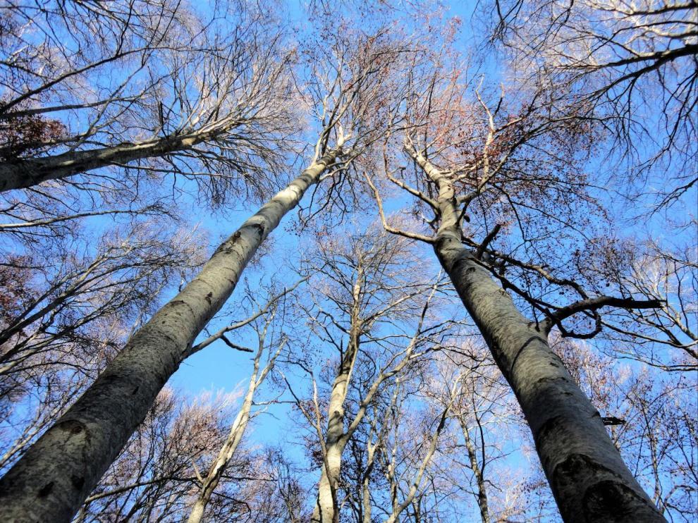 Hayedo sin hojas, en el invierno, en el Parque Natural del Moncayo.