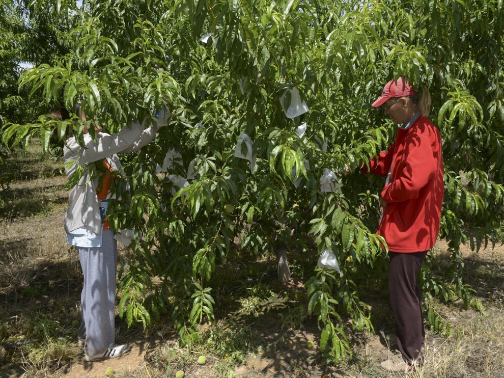 Temporeros trabajando en el embolsado del melocotón de Calanda en una finca.