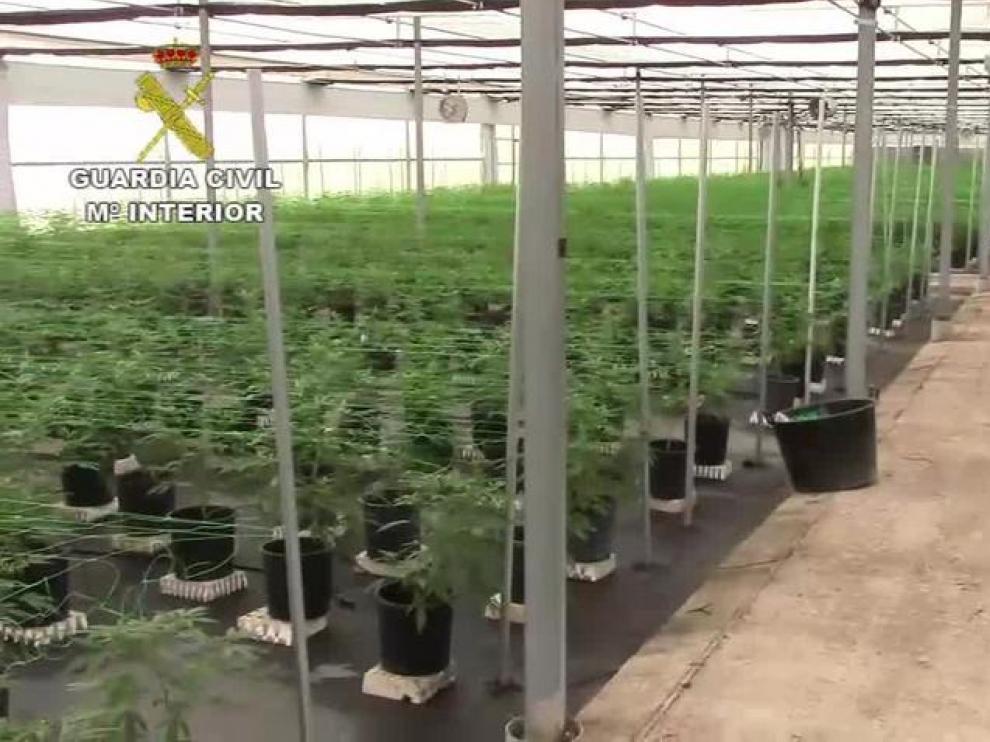 La Guardia Civil desmantela una plantación ilegal de cannabis sátiva en la localidad de Tauste
