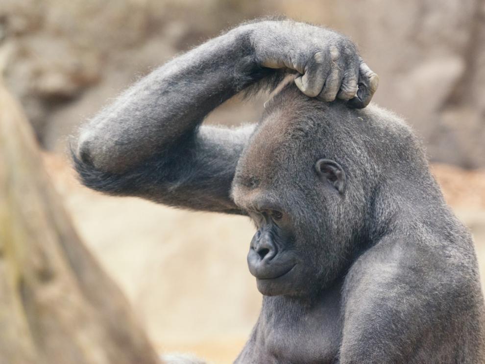 Un gorila se rasca la cabeza