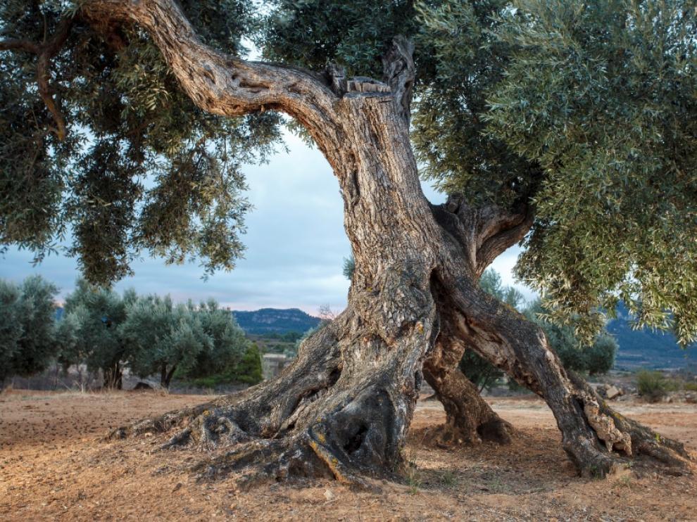 Uno de los más de 5.000 olivos milenarios. Este se ubica en el municipio de Valderrobres. Mancomunidad de la Taula del Sénia.
