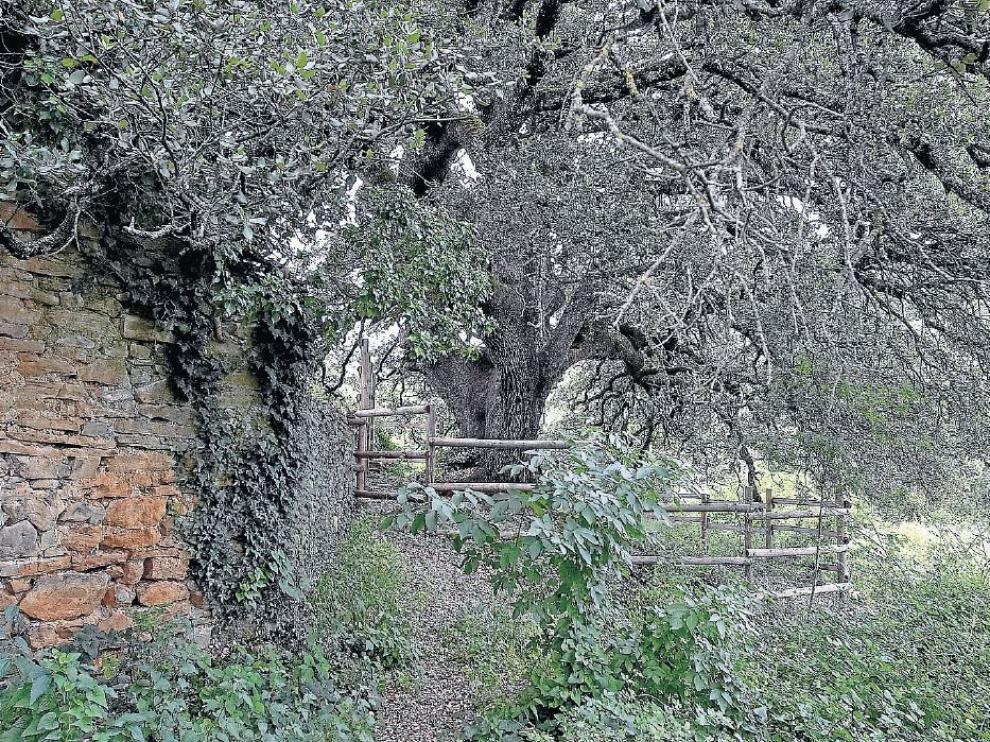 La Castañera, carrasca milenaria de Lecina, que veremos en esta ruta.