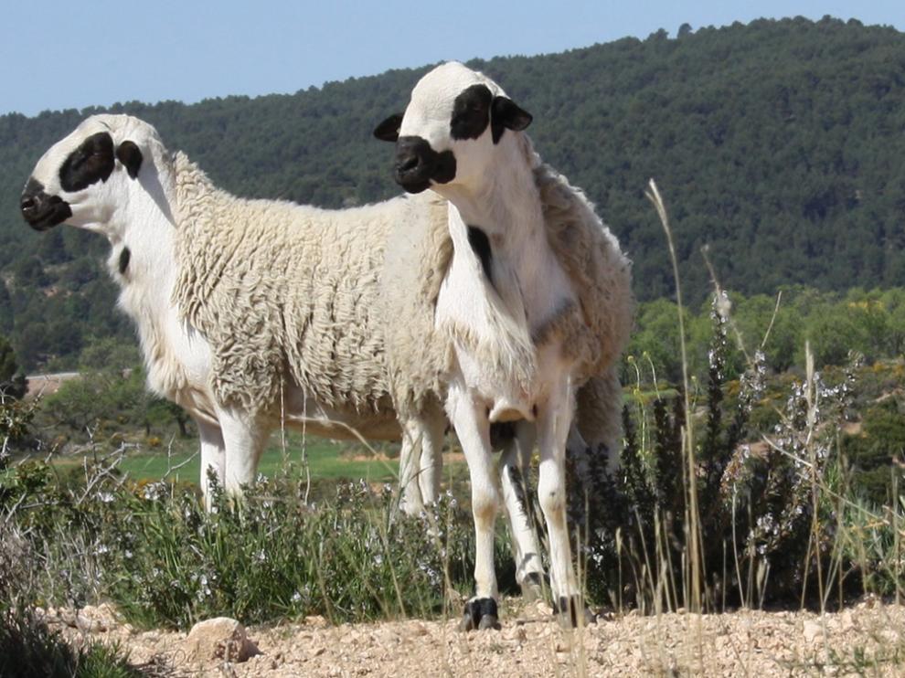 Dos ejemplares de oveja ojinegra de Teruel.