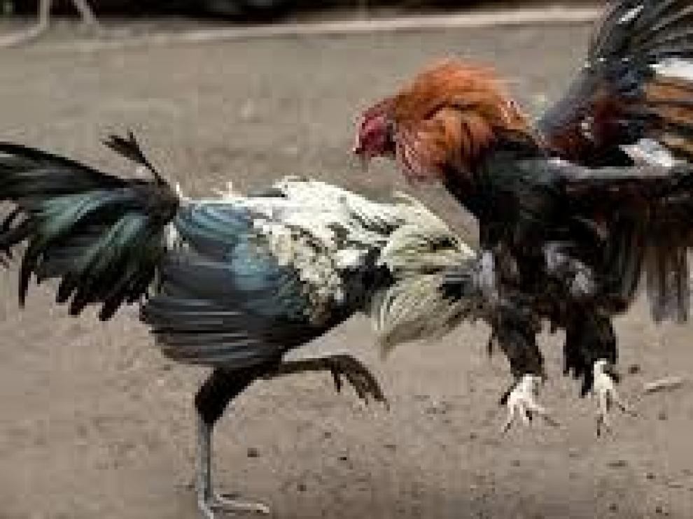 Imagen de archivo de una pelea de gallos.