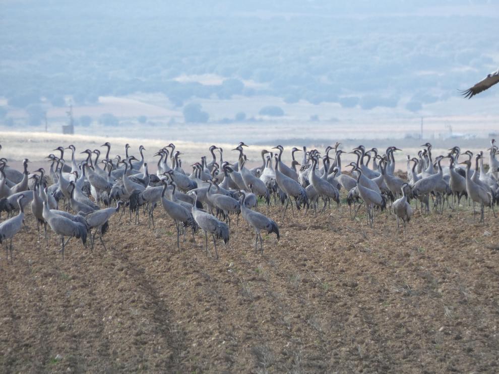 Un grupo de grullas esta semana, en los campos de Santed, cerca de Gallocanta.