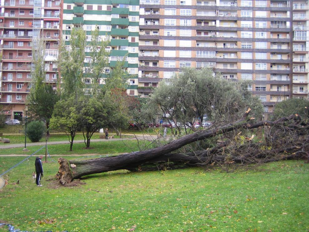 La acacia singular del Parque Bruil que cayó derribada por el viento en 2014.