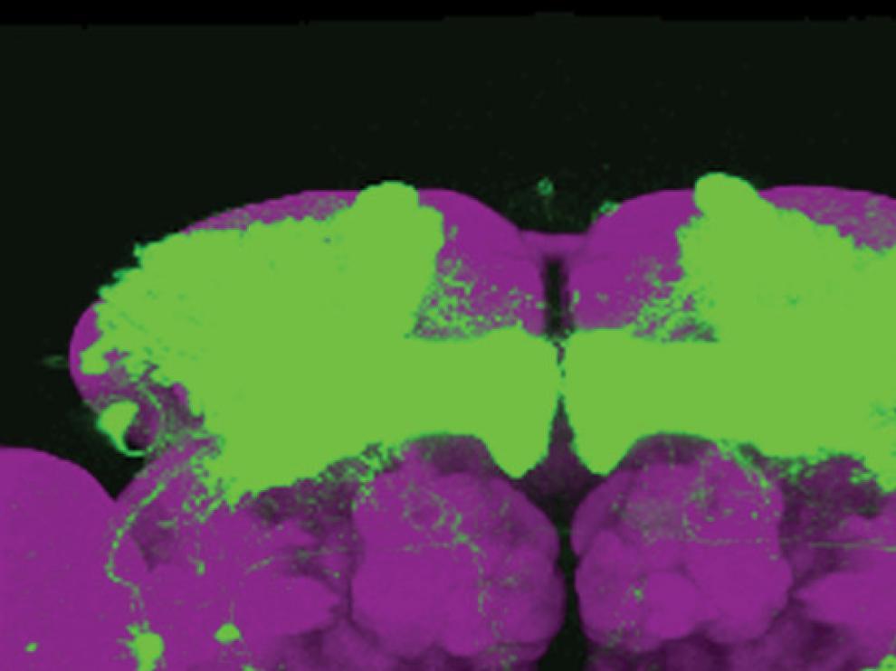 Expresión del gen nemuri (verde) en neuronas del cerebro de una mosca de la fruta
