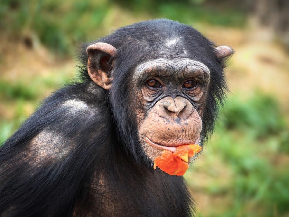 La ONG Jane Godall sorteará mensualmente apadrinamientos del programa 'Chimpamigo@s'