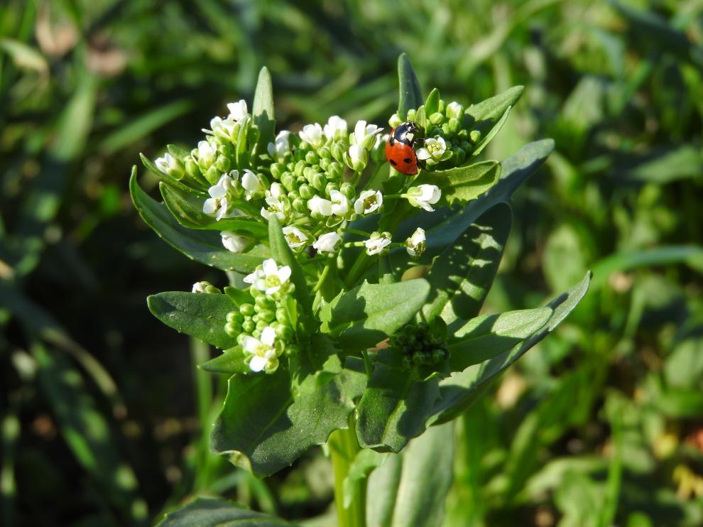 Pennycress, una especie vegetal cuyas semillas contienen un elevado porcentaje de aceite.