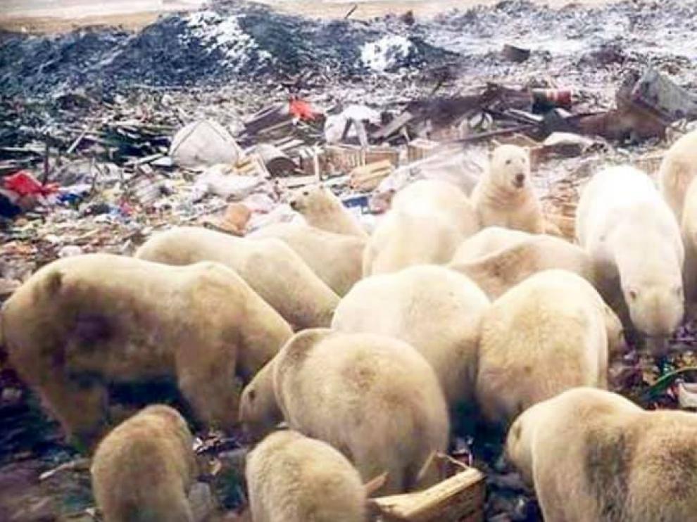 Los osos polares rebuscando comida en un vertedero del pueblo ruso.