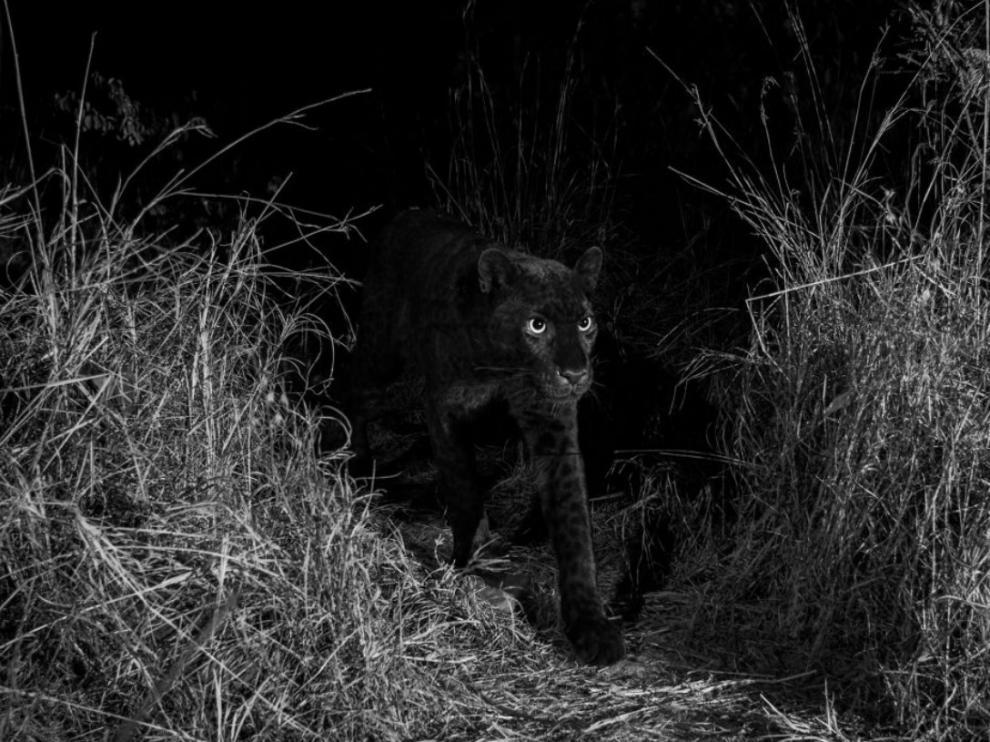 La primera foto del leopardo que Burrard-Lucas descubrió en su cámara.