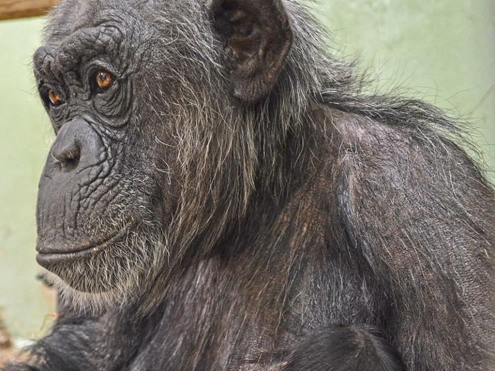 Nacen dos mellizos de chimpancé en Bioparc Valencia