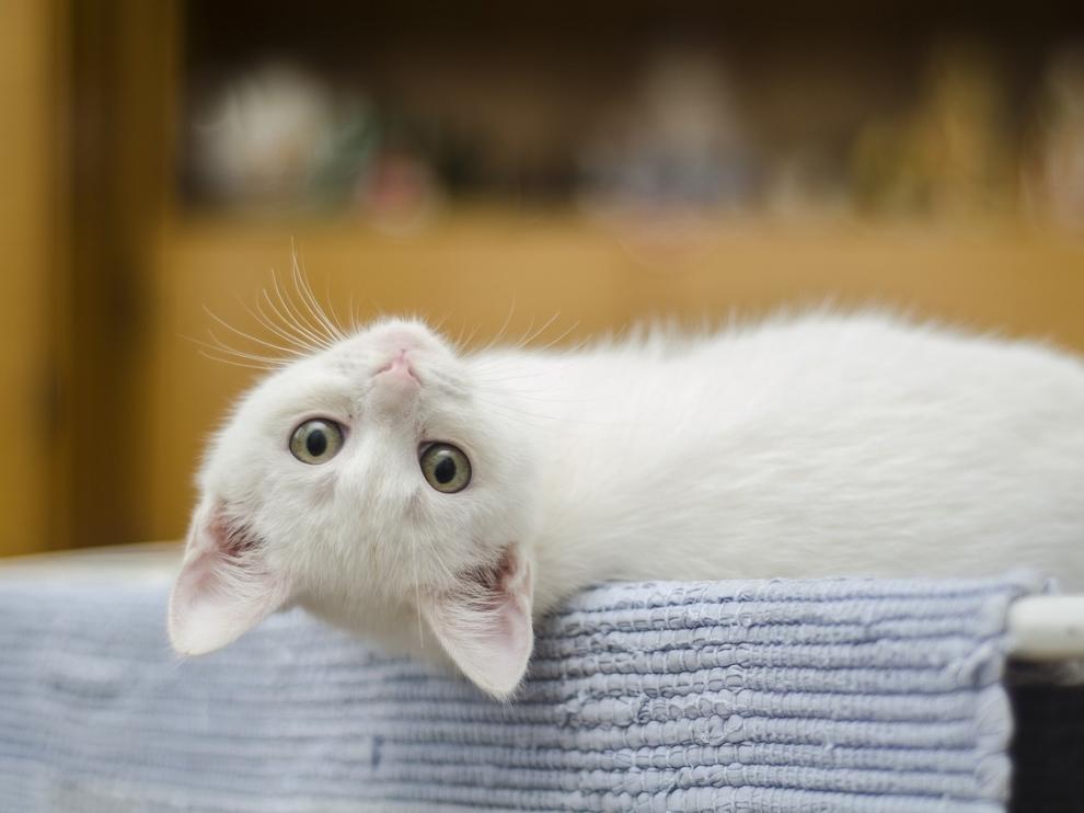 El mundo entero celebra el Día Internacional del Gato.