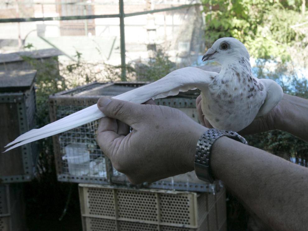 Imagen de archivo de una paloma mensajera.