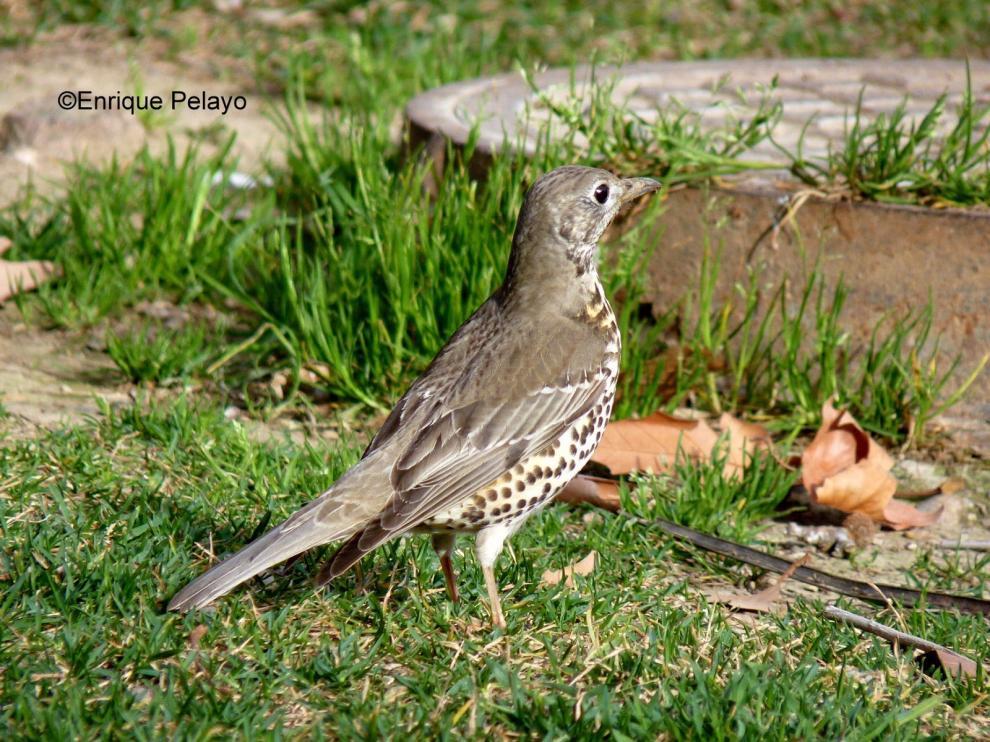 Zorzal Charlo. Este pájaro canta incluso por la noche. En Zaragoza son muy confiados y se los ve por el césped, buscando lombrices.