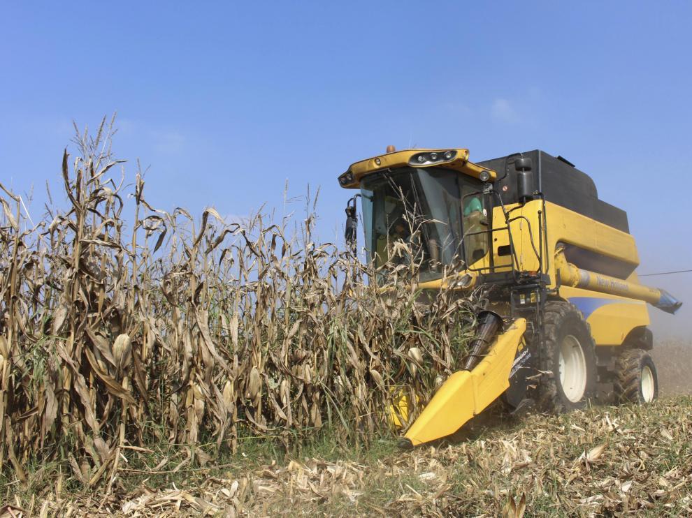 Un agricultor, en plena recolección de maíz en un campo aragonés.