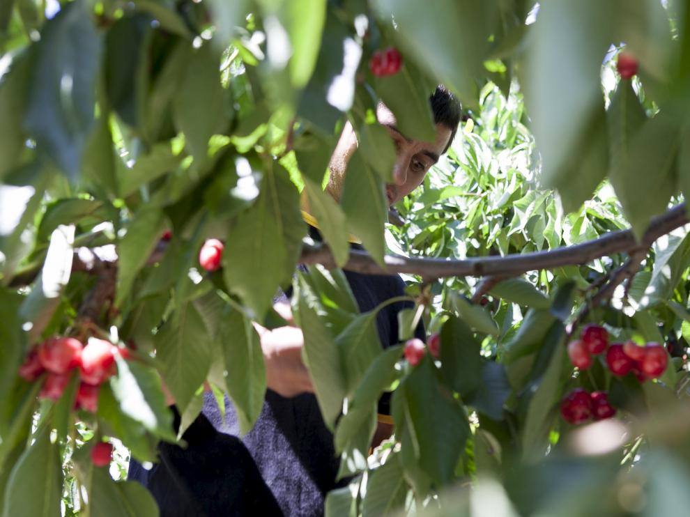 Unos trabajadores durante la campaña de recolección de la fruta en Aragón.